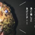 【カサゴ】根魚は成長が遅いので釣りすぎないようにしよう!って話【メバル】