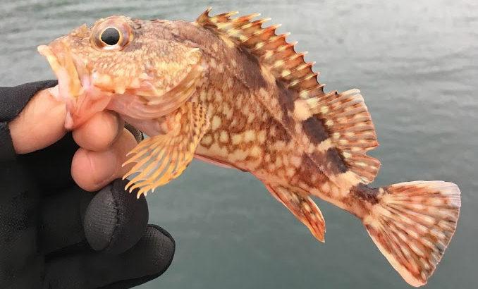 令和の初エントリーは平成最後の釣行記。淡路まで行って小型カサゴしか釣れなかった日記