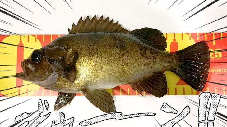 【釣行記】明石でライトゲーム!魚が釣れるまで帰れません!釣果は24cmの本命メバル!!
